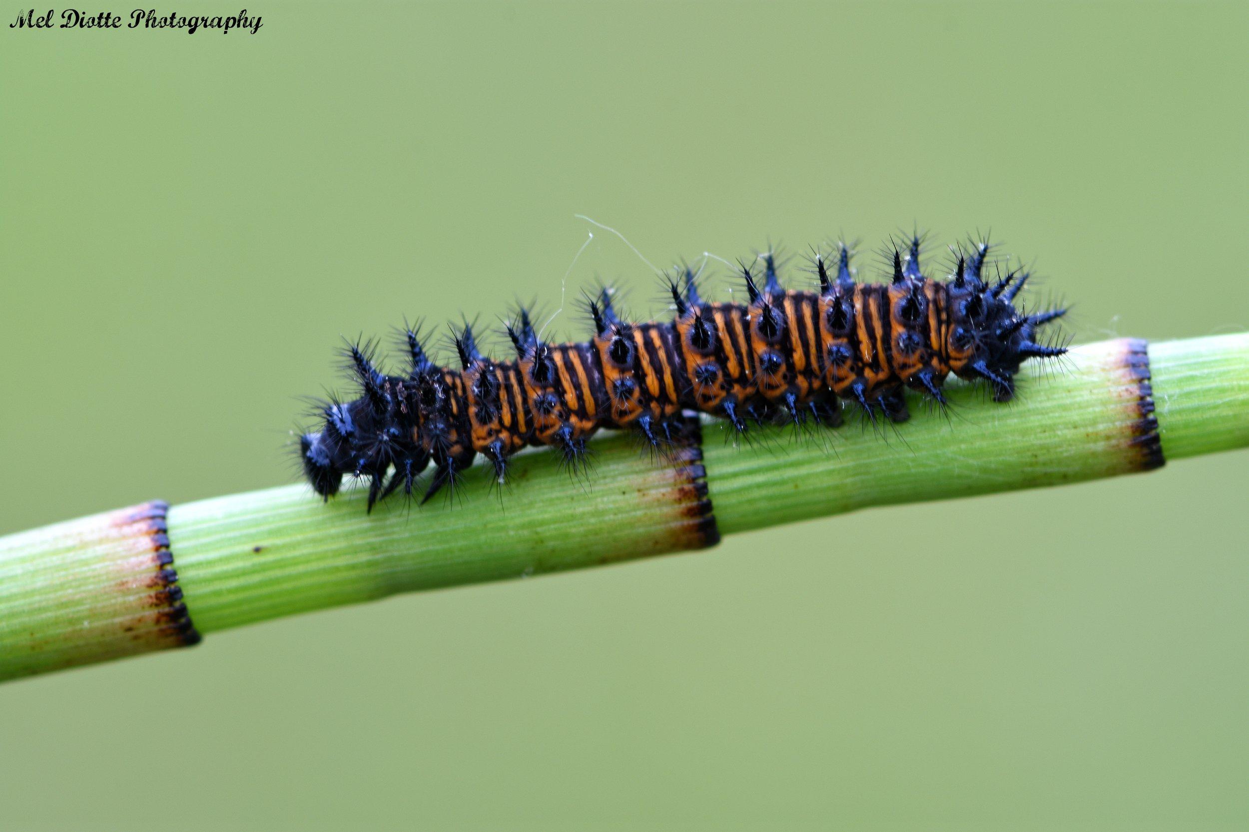 caterpillara.jpg