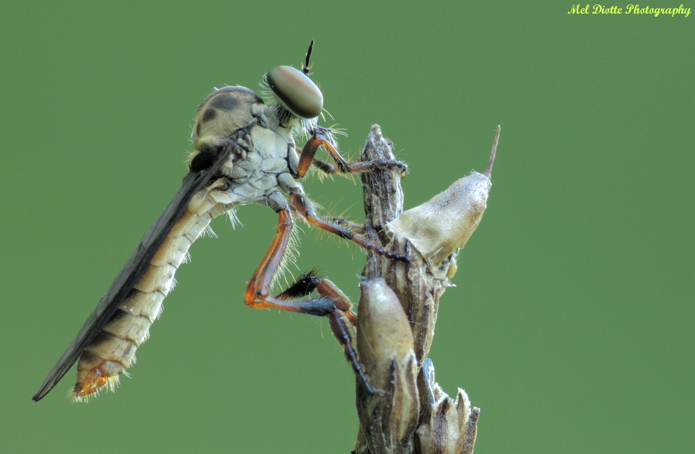 robber fly.jpg