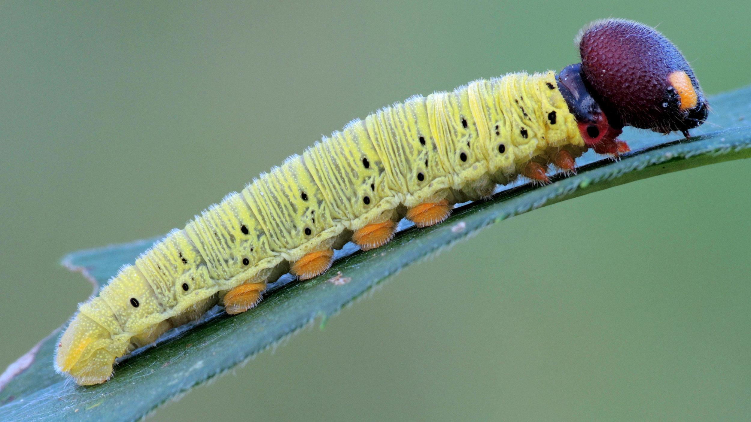 silver skipper caterpillar.jpg
