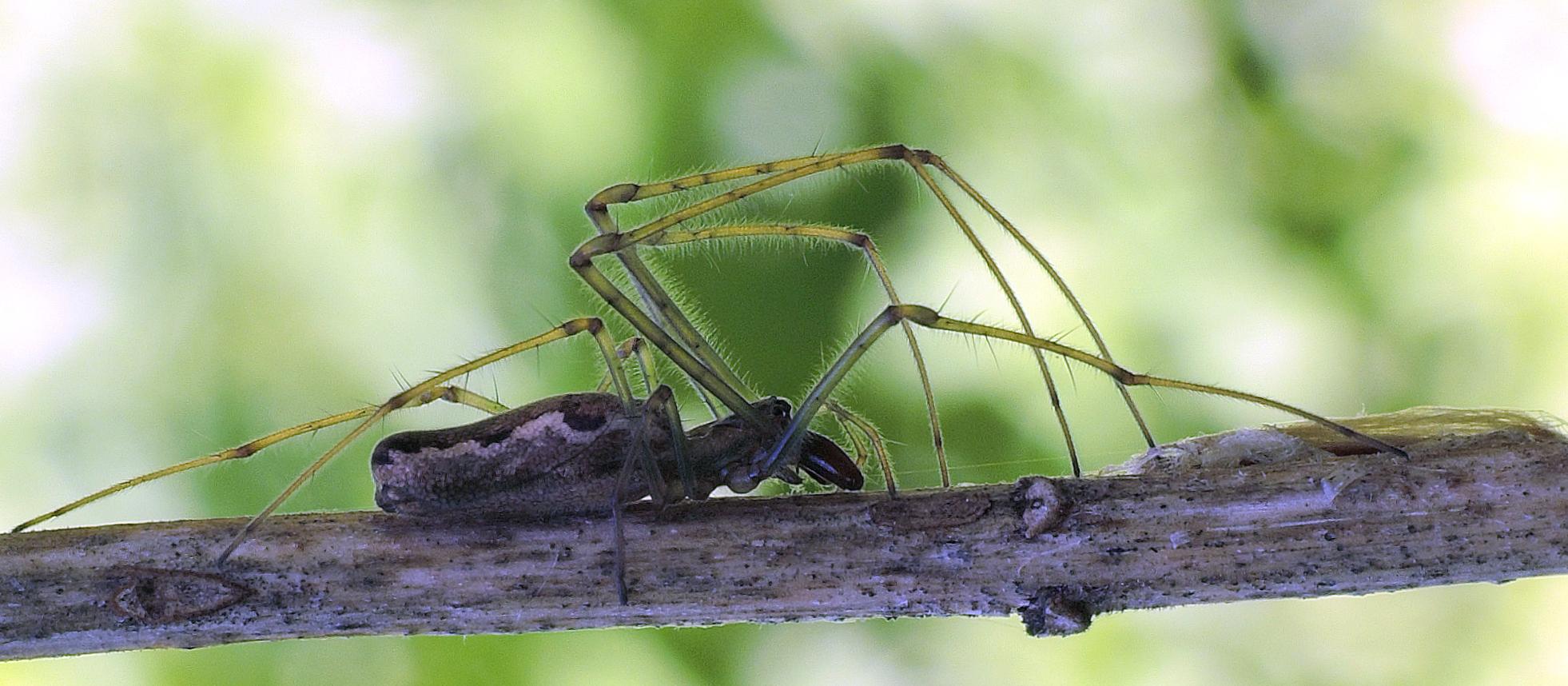 spider2 long-jawed orb weaver.jpg