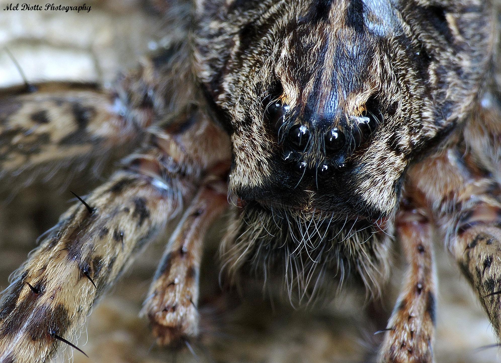 spider up close2 Dolomedes tenebrosus (2).jpg