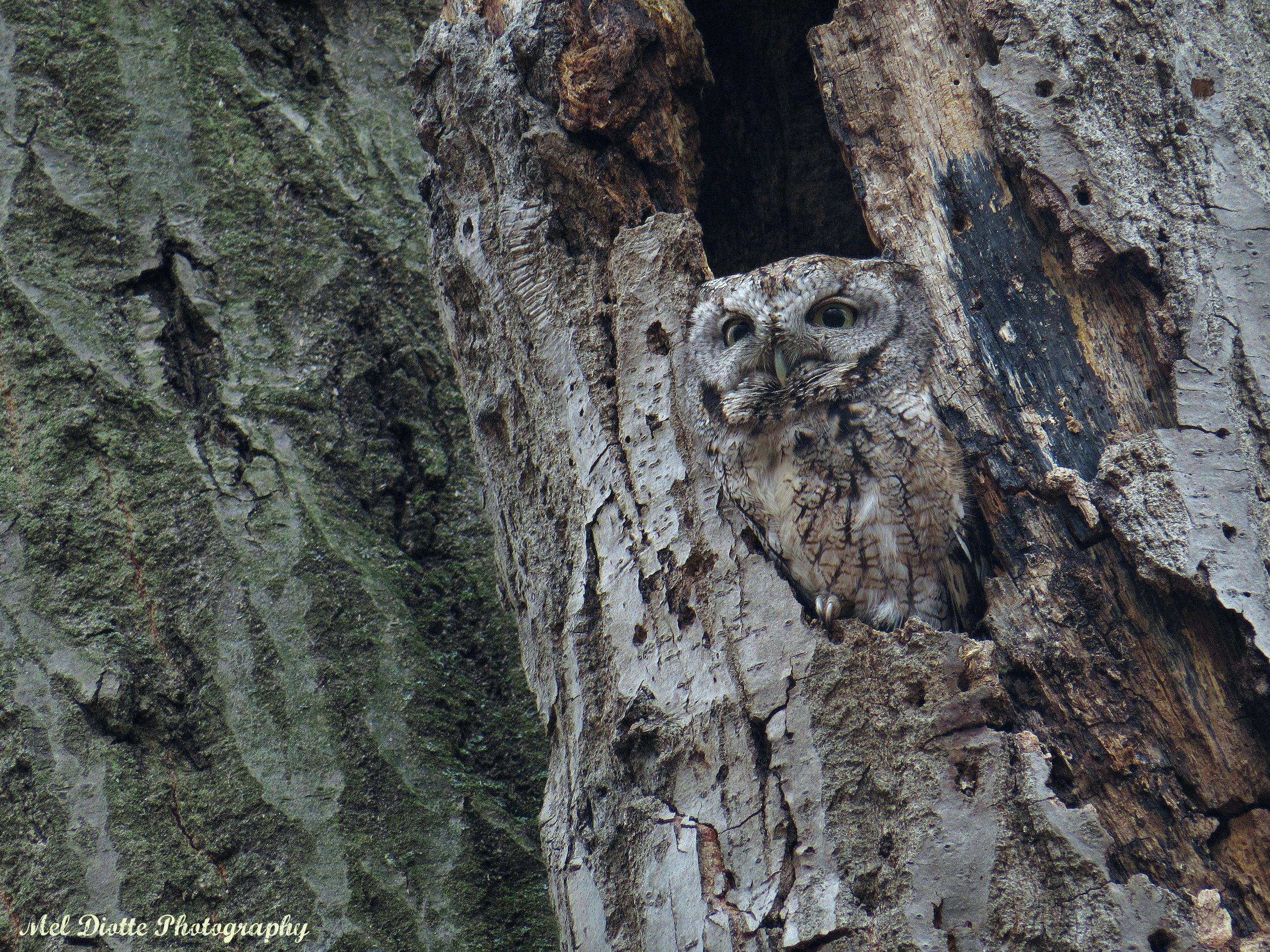 eastern screech owljsigned.jpg