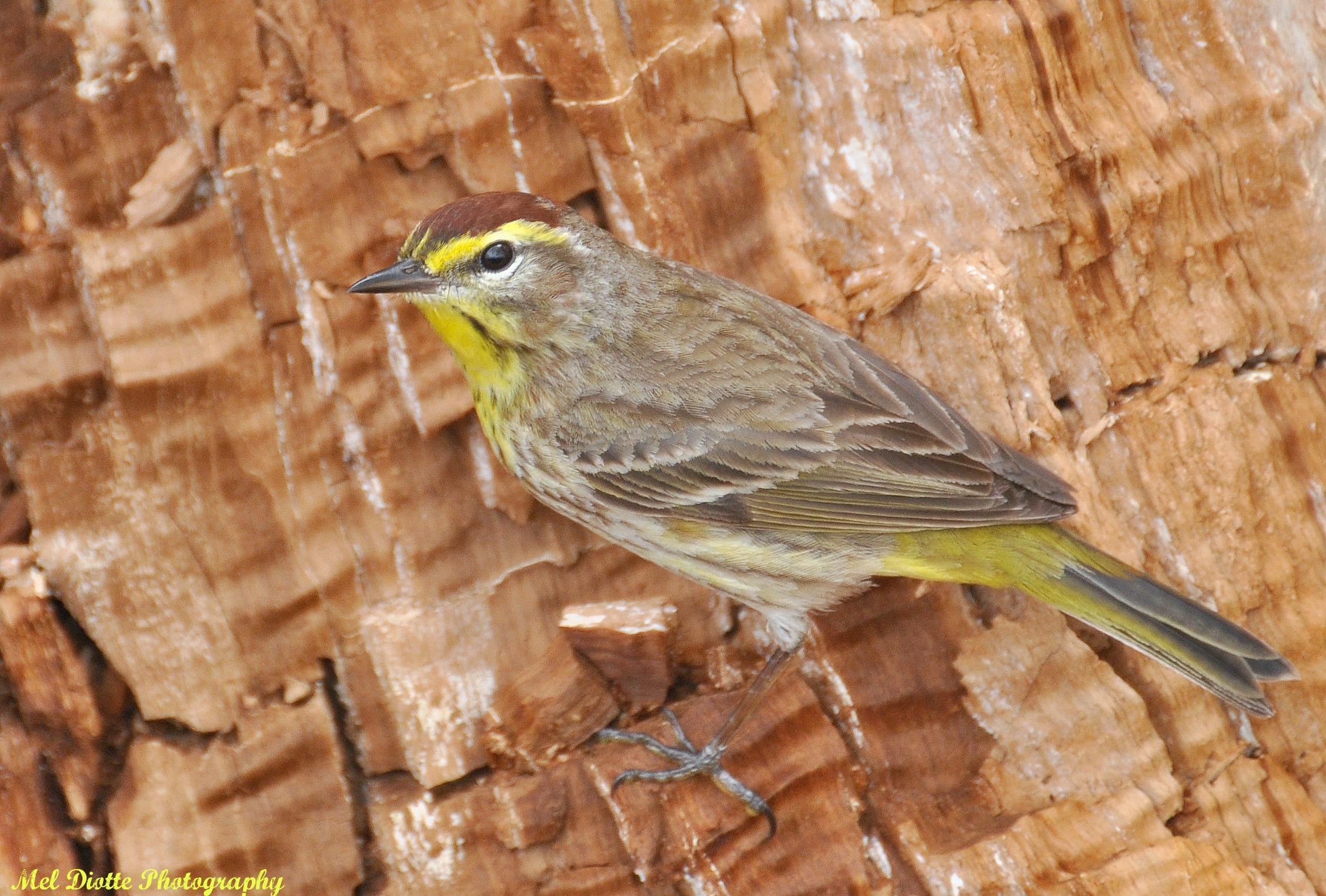 palm warbler screech owl 069.jpg