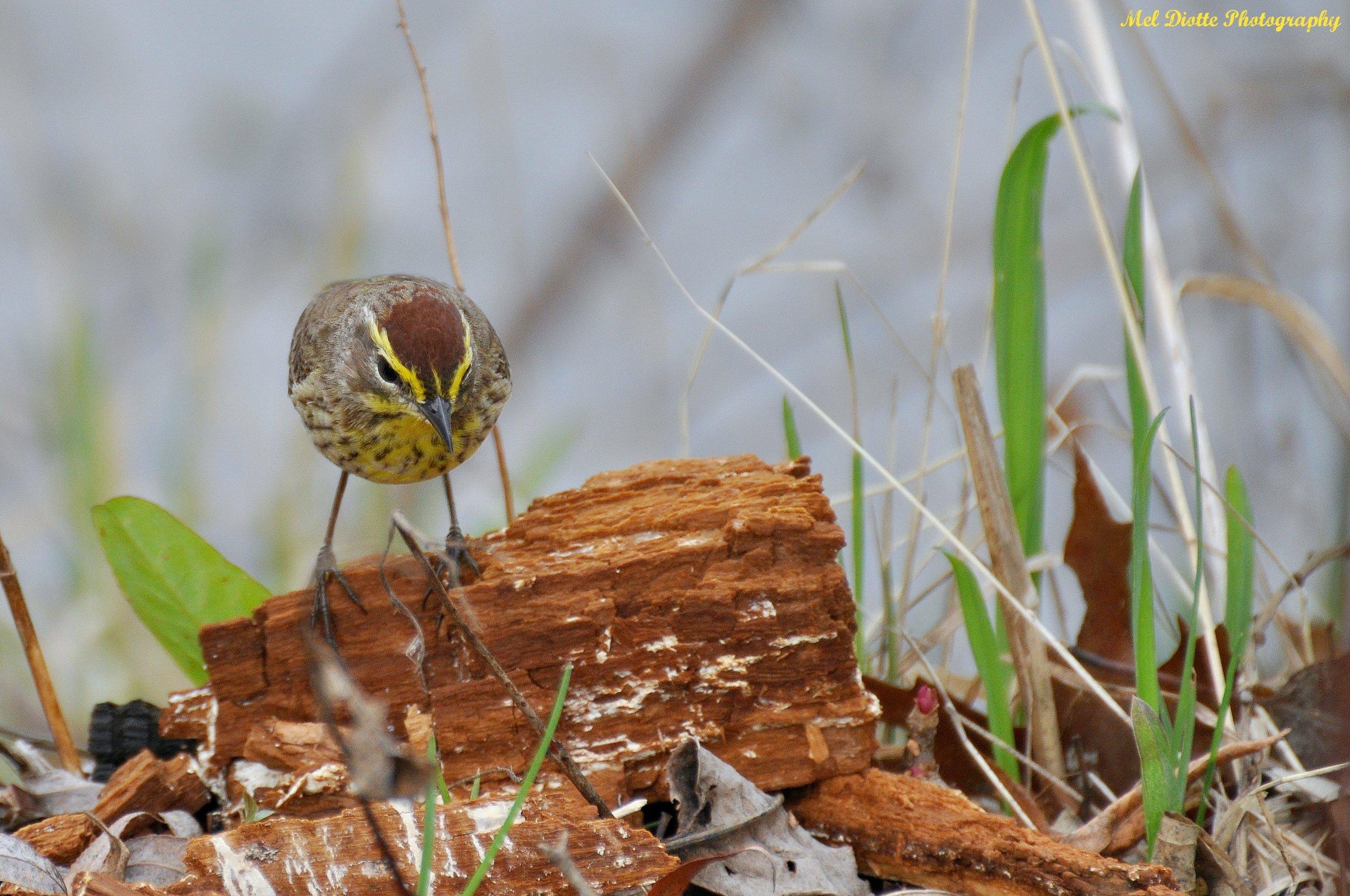 palm warbler screech owl 065.jpg