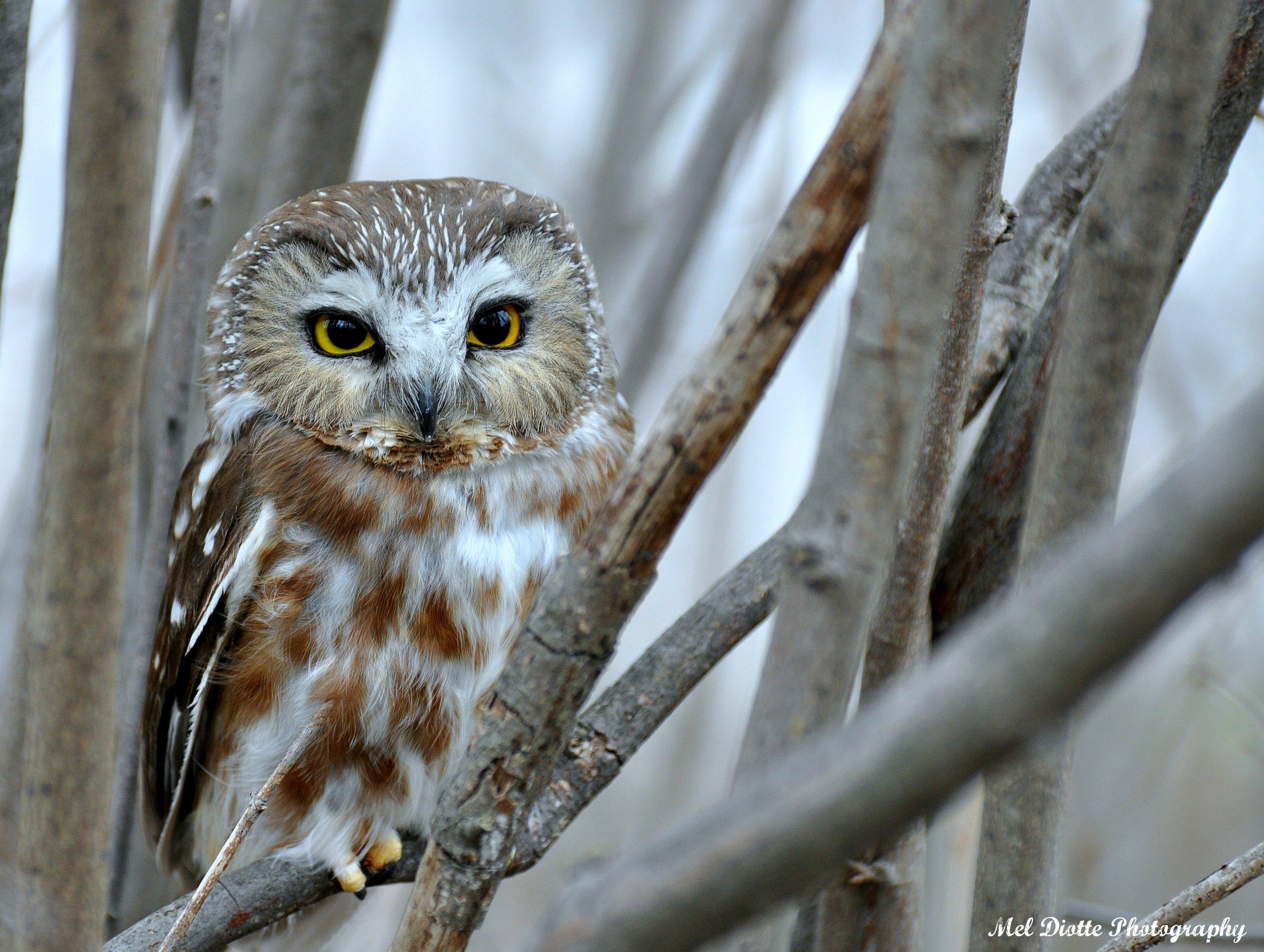 saw whet owl 358b.jpg