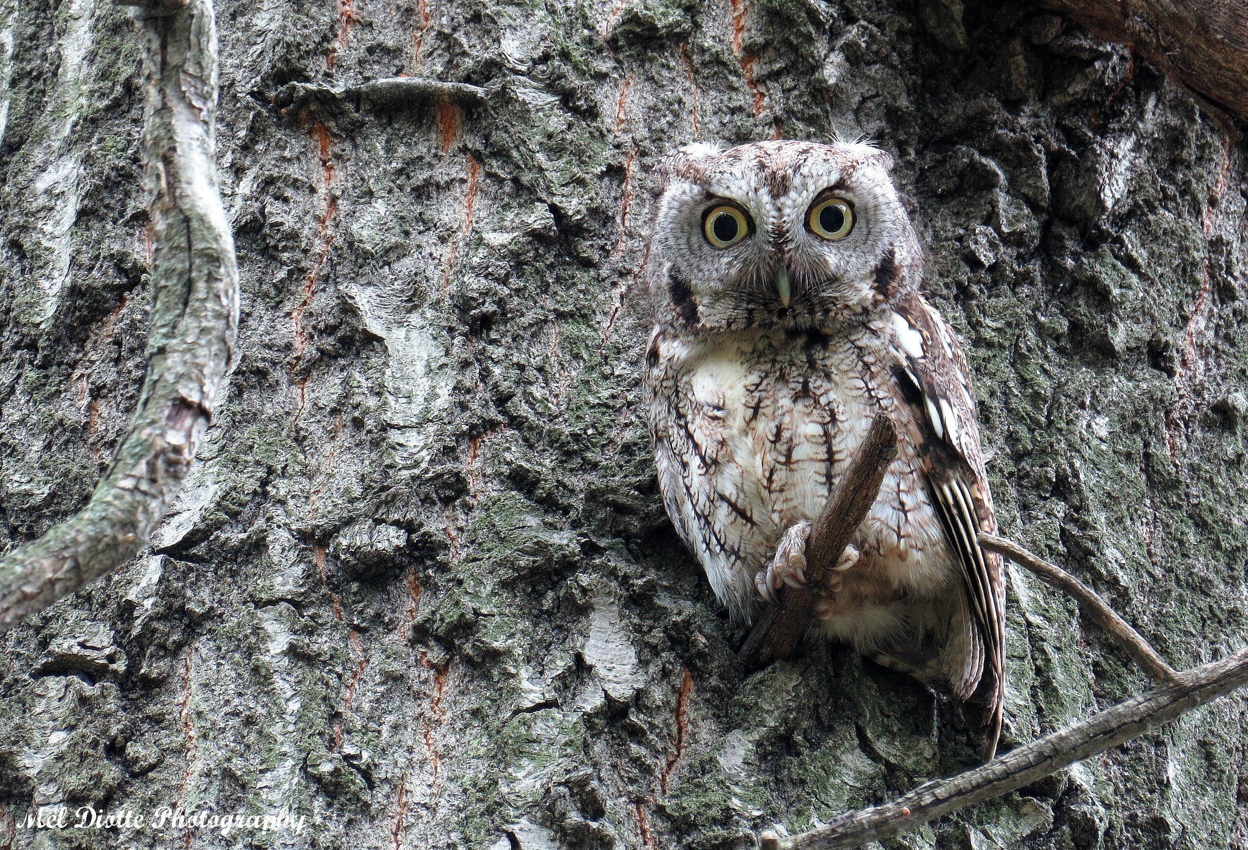 screech owl outsigned.jpg