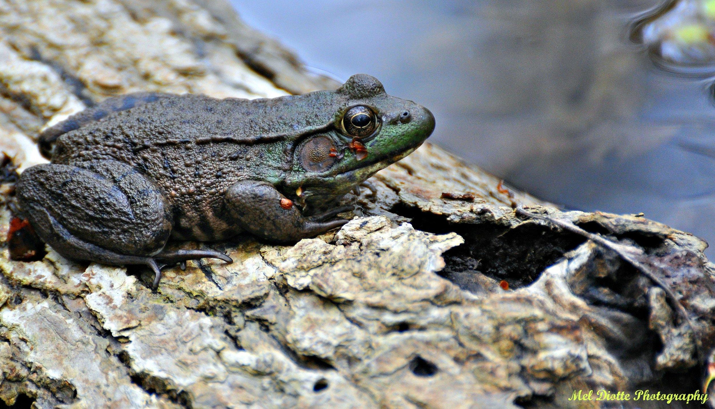 green frog.jpg