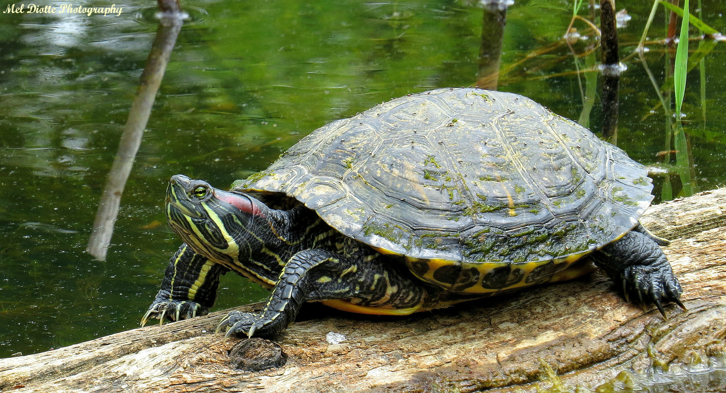 turtle may 25 2015signed.jpg