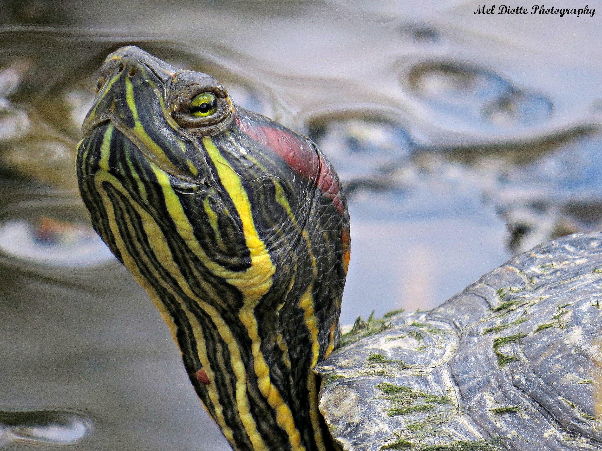 turtlec.jpg
