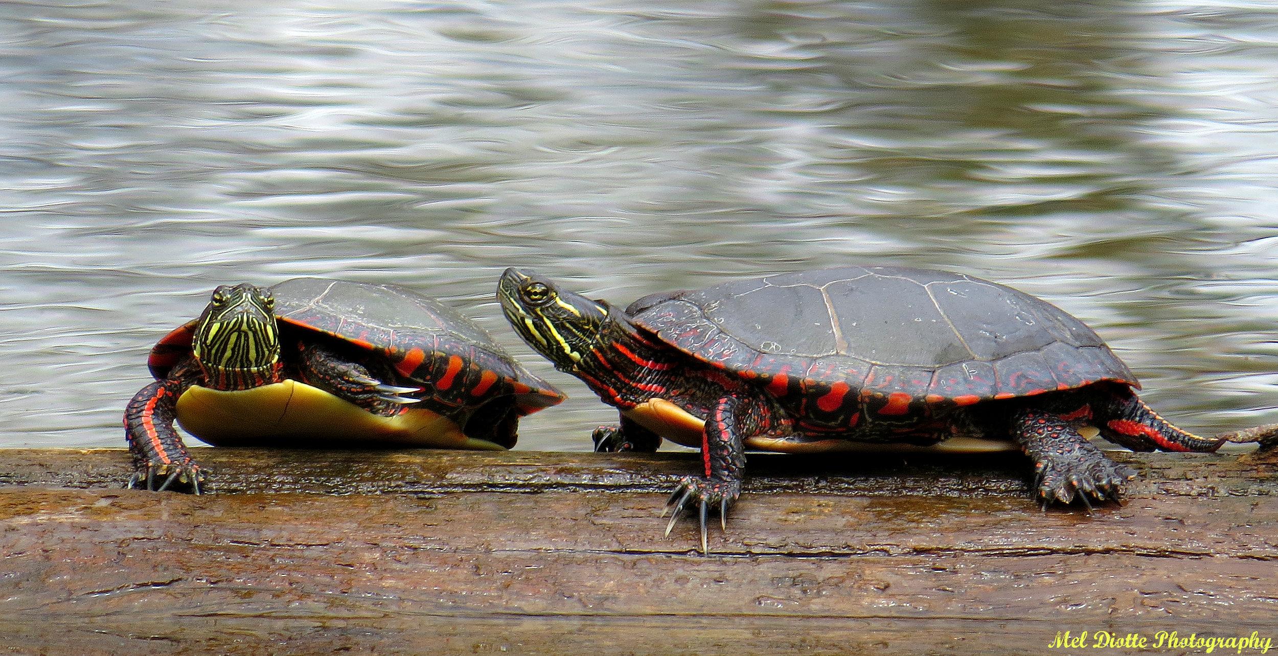 turtlel.jpg