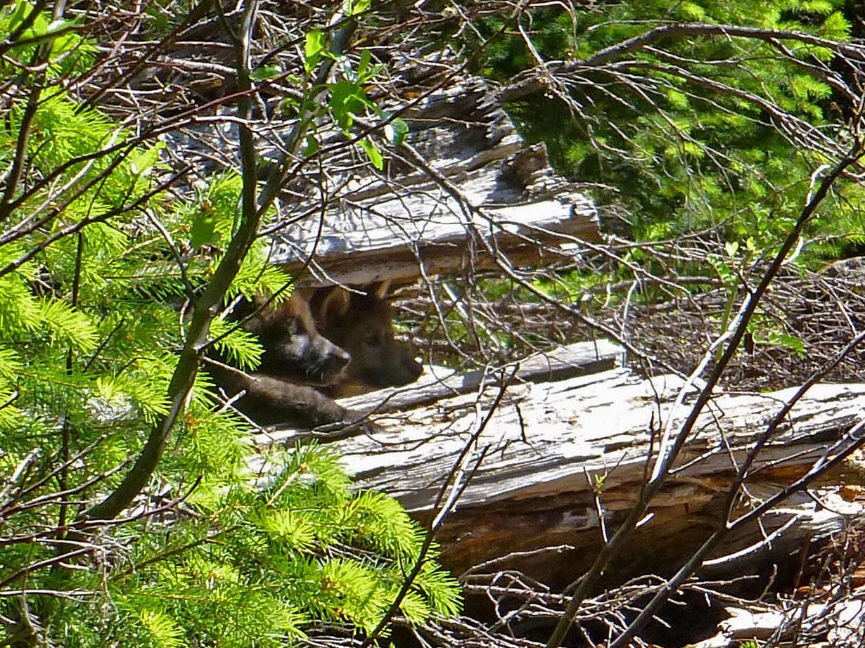 0605-wolf-pups-P.jpg