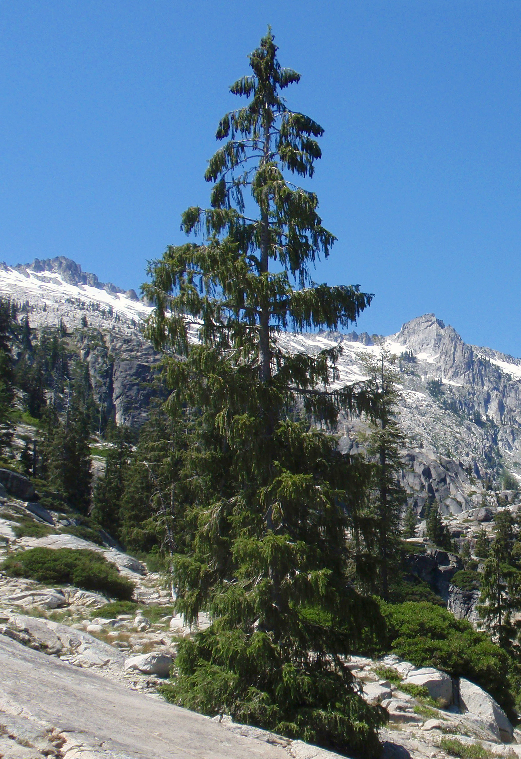 Brewer Spruce in the Trinity Alps Wilderness   Photo credit :  Tom Hilton