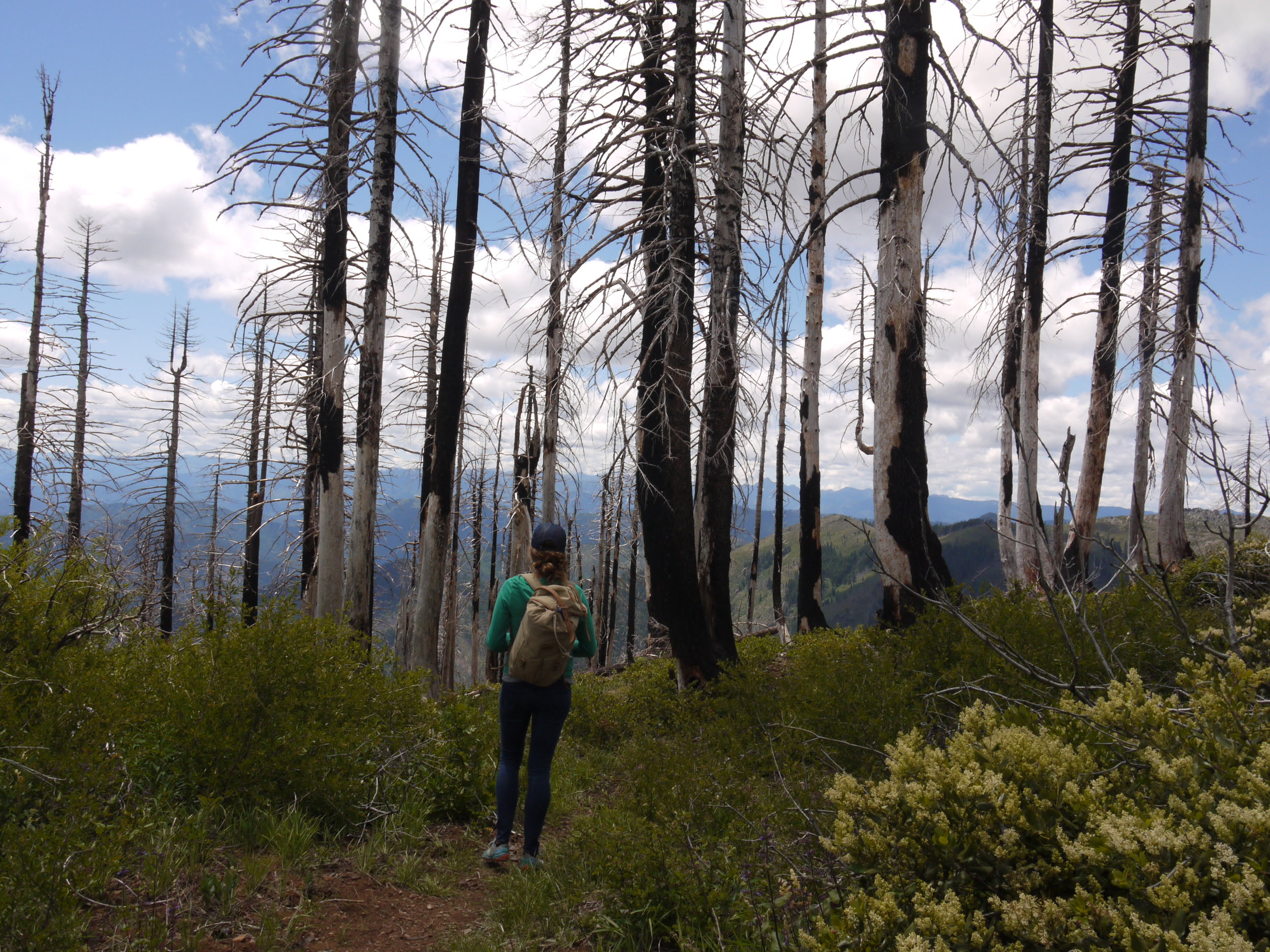 Hiking on the Boundary Trail among burned trees and the regrowth of fire-loving shrubs on the Siskiyou Crest, 5 years after the moderate burn in 2012.