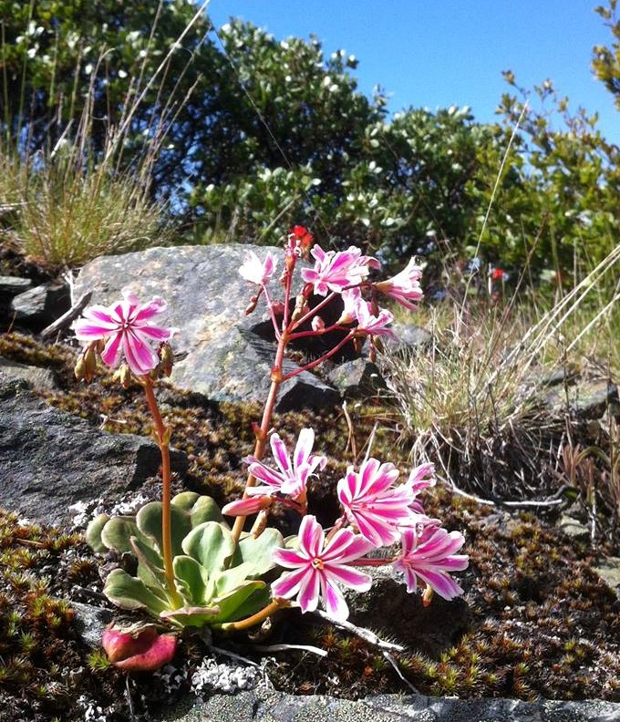 This botanically rich, recreational hub, and critical high-elevation climate refuge is beloved by so many. Adjacent to the Klamath National Forest's designated Botanical Area, this area now proposed for clearcutting, was part of the original Wilderness designation proposal a couple decades ago. It serves as a huge draw to botanists, Pacific Crest trail hikers, bikers on the popular Cook and Green Trail, and is an integral piece of the Siskiyou Crest corridor.  photo: The endemic Siskiyou lewisia makes its home on the rocky slopes near Cooke and Green Pass