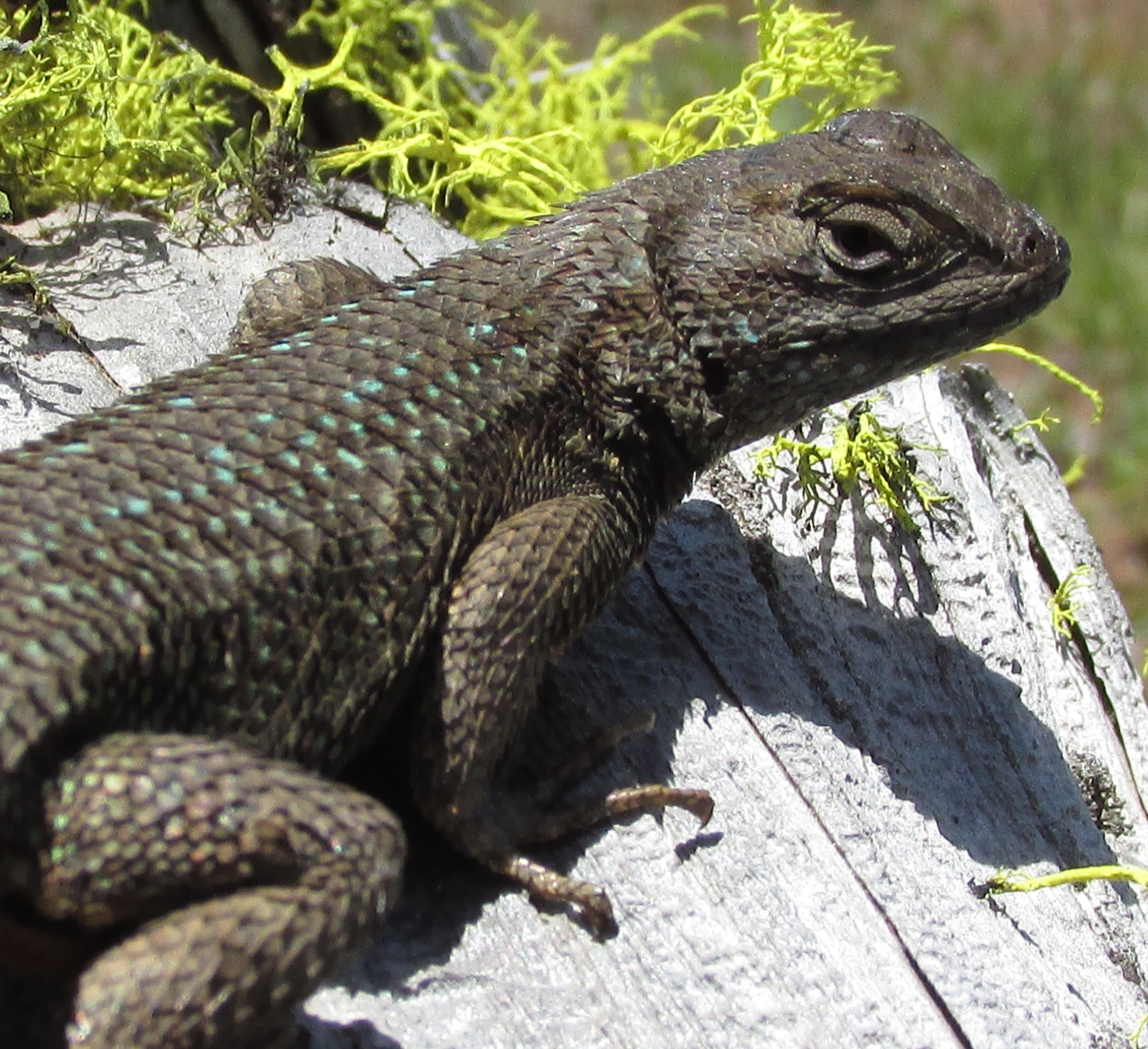 Western Fence Lizard, Soda Mt. Wilderness, 2015.05.09, Holly Christiansen.jpg