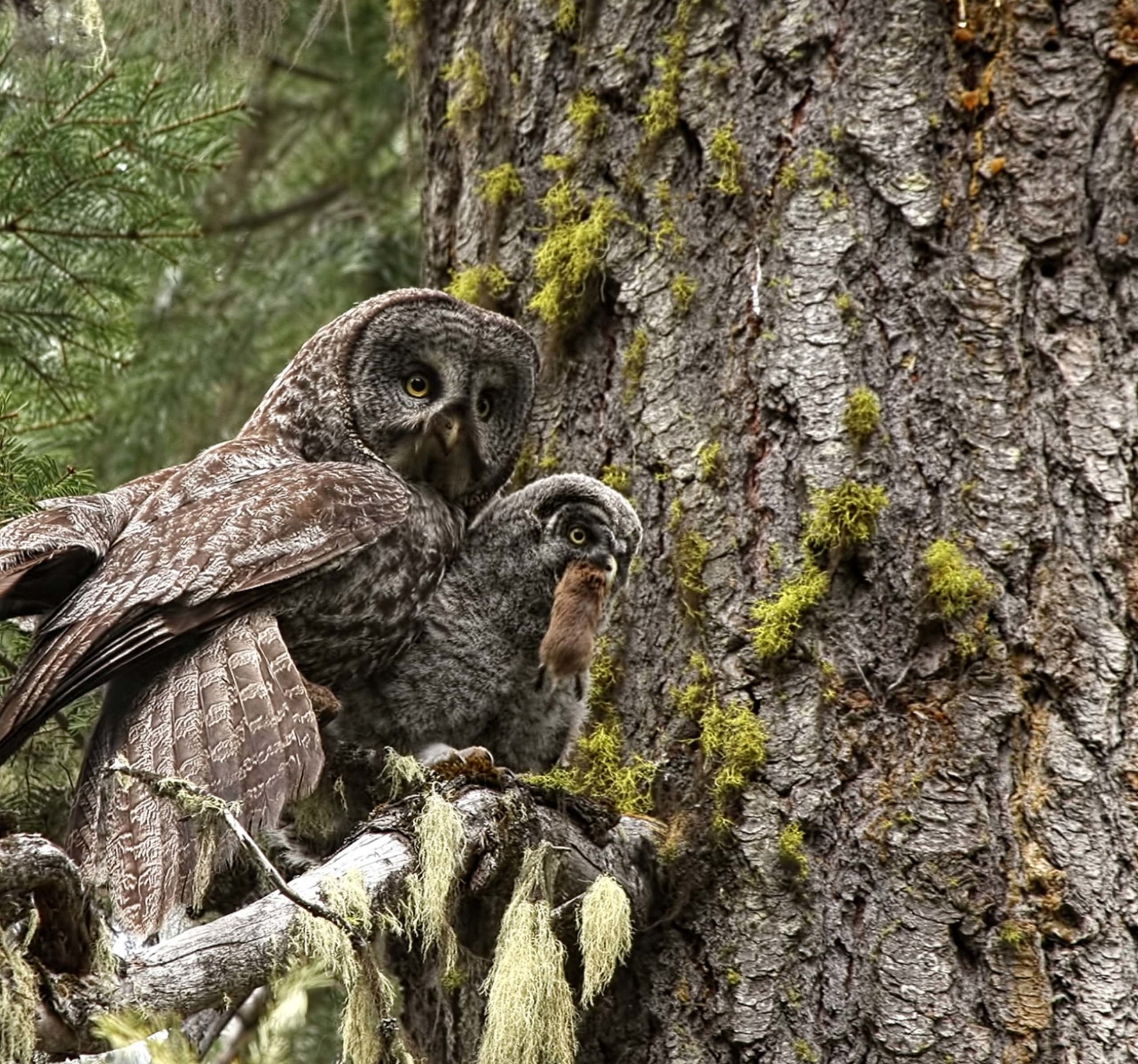 Great Gray Owls Credit: Dan Elster Photography