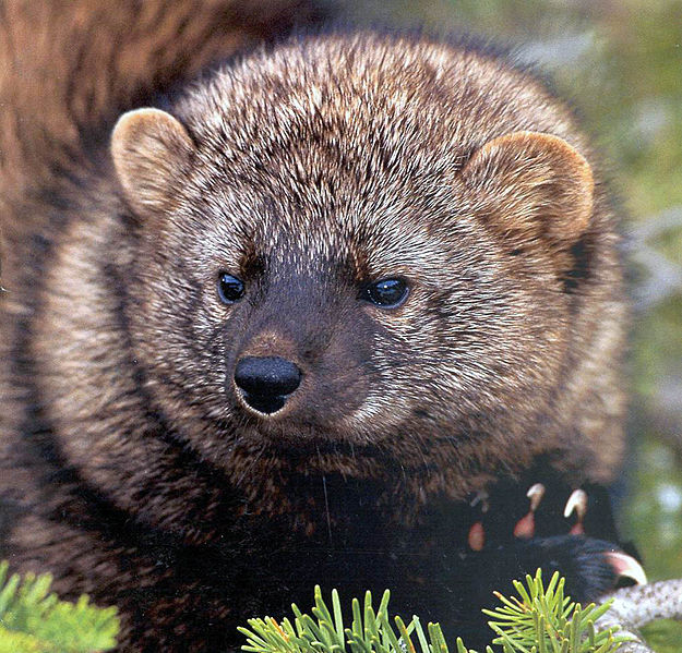 Pacific Fisher, USFS