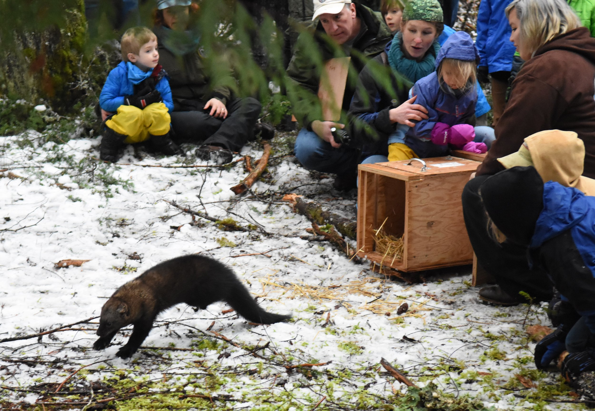 A Pacific fisher is released in Mount Rainier National Park as part of an attempt to repopulate regions where fishers once lived. Credit: NPS