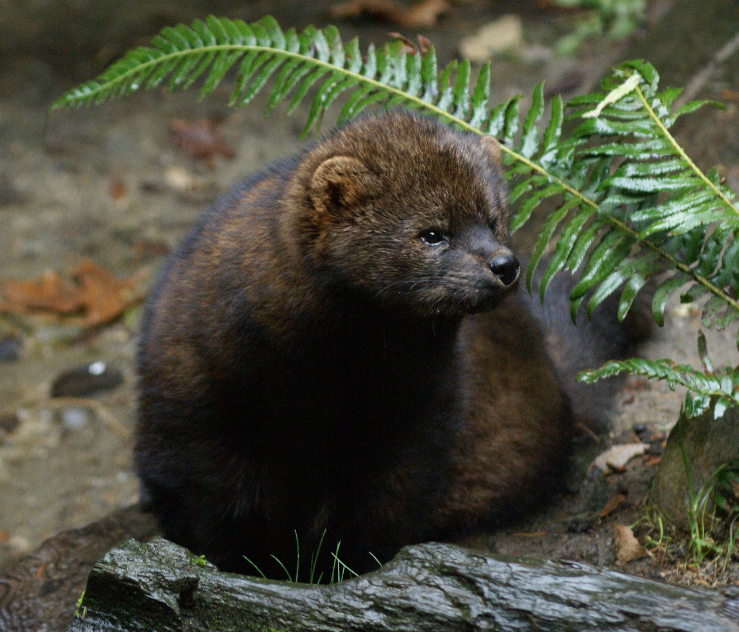 A cute and fuzzy Pacific fisher Credit: USFWS
