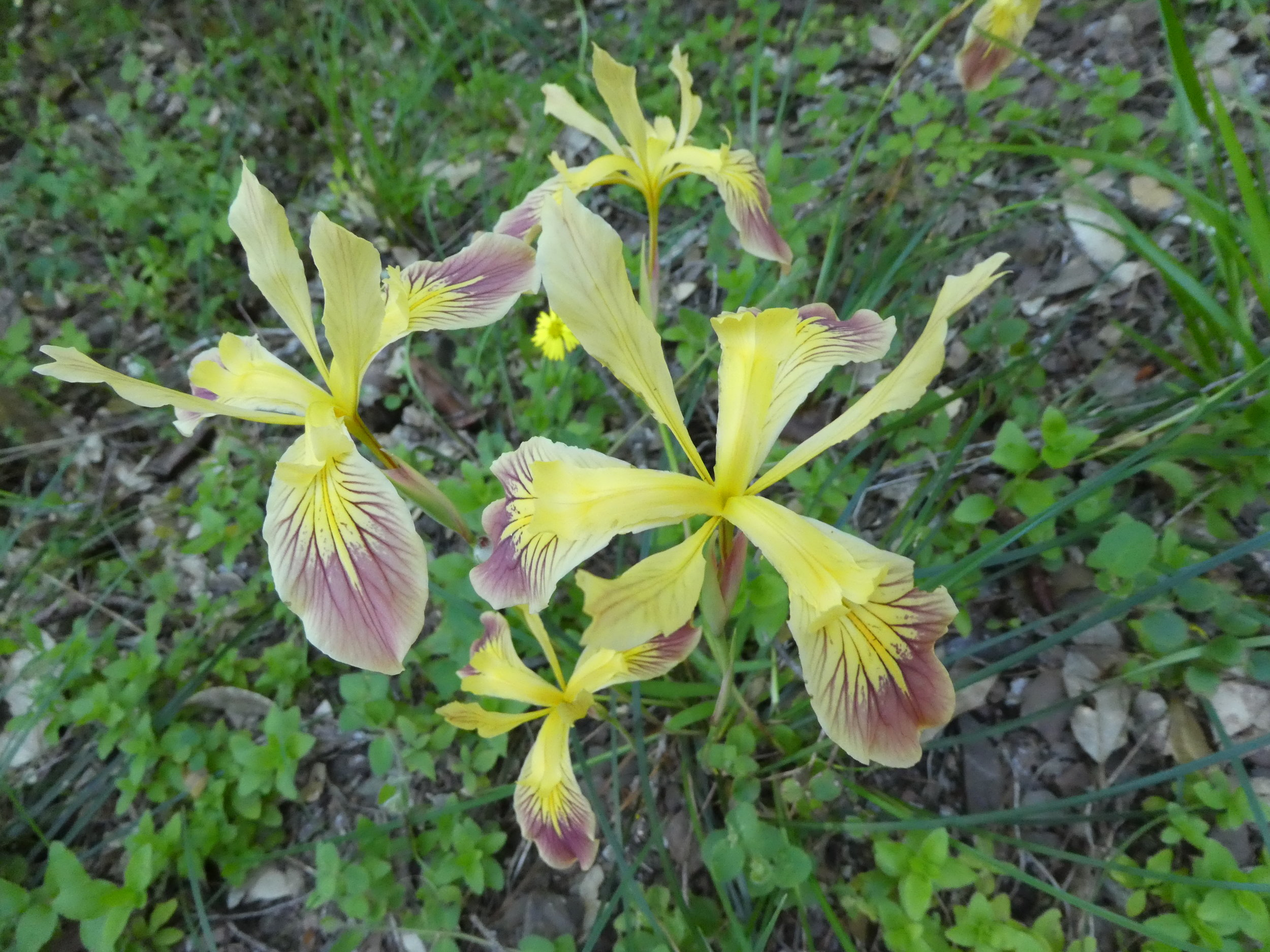 Wild Iris, one of many wildflowers greeting you along the way