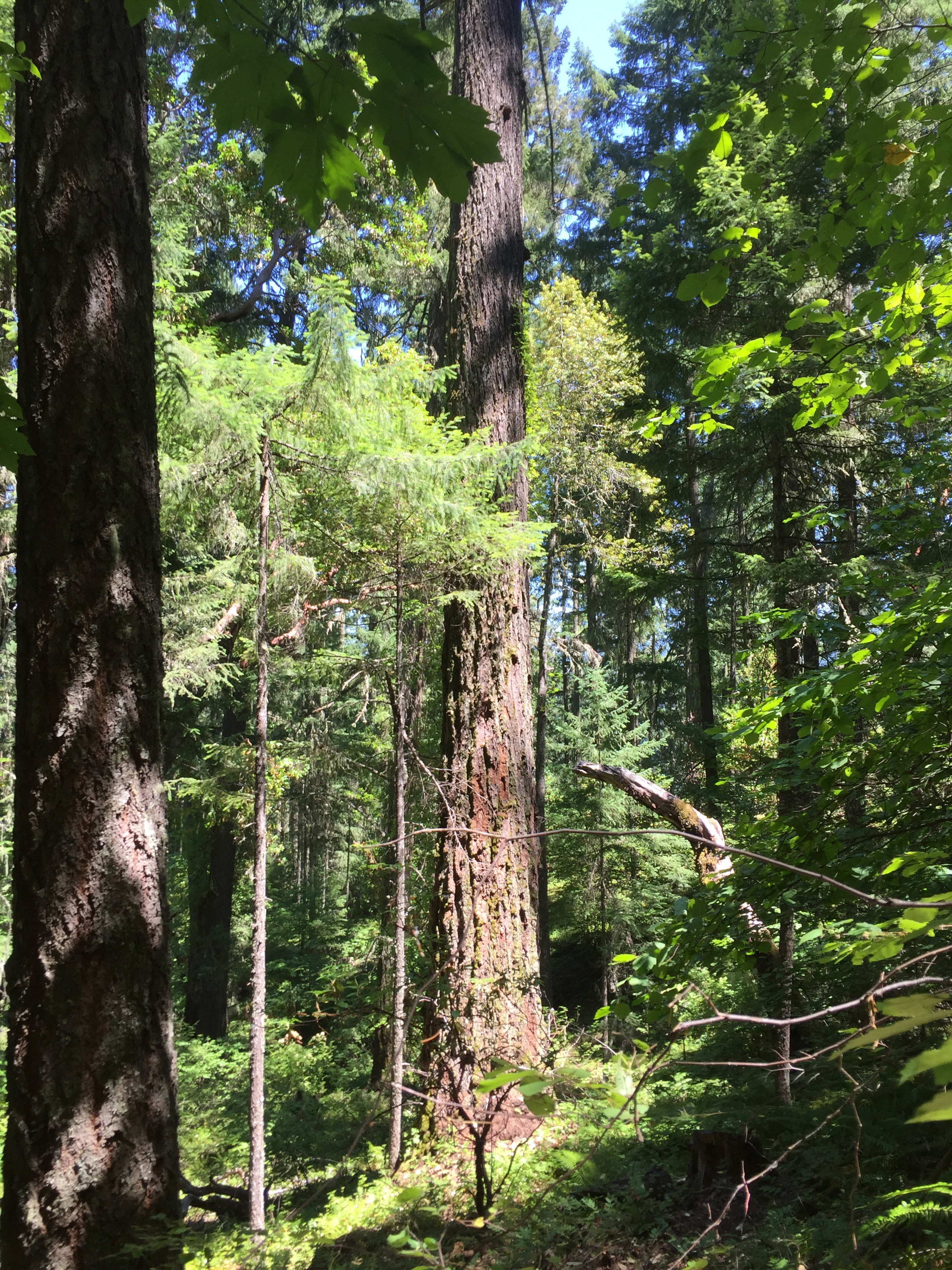 Poor Windy 34-6-11.0 Density of big trees.jpg