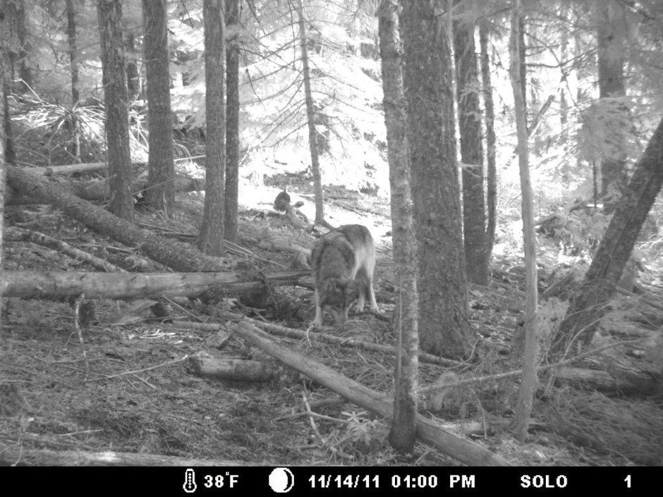 OR-7 on trail cam.  Photo courtesy of Allen Daniels