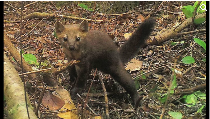 Extremely rare Humboldt marten - fewer than 200 remain in Oregon!