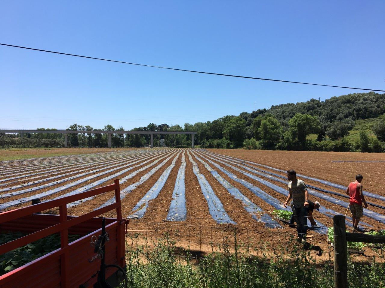 Junho17 - Plantação Butternuts.JPG