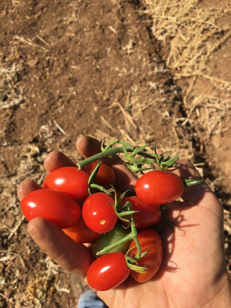 07 Julho17 - Batata doce plantada (4).JPG