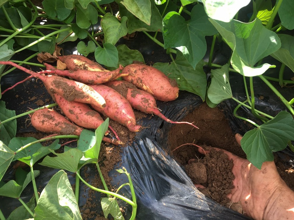 08 Agosto17 - Batata Doce - 3 variedades b (10) - Cópia.jpg
