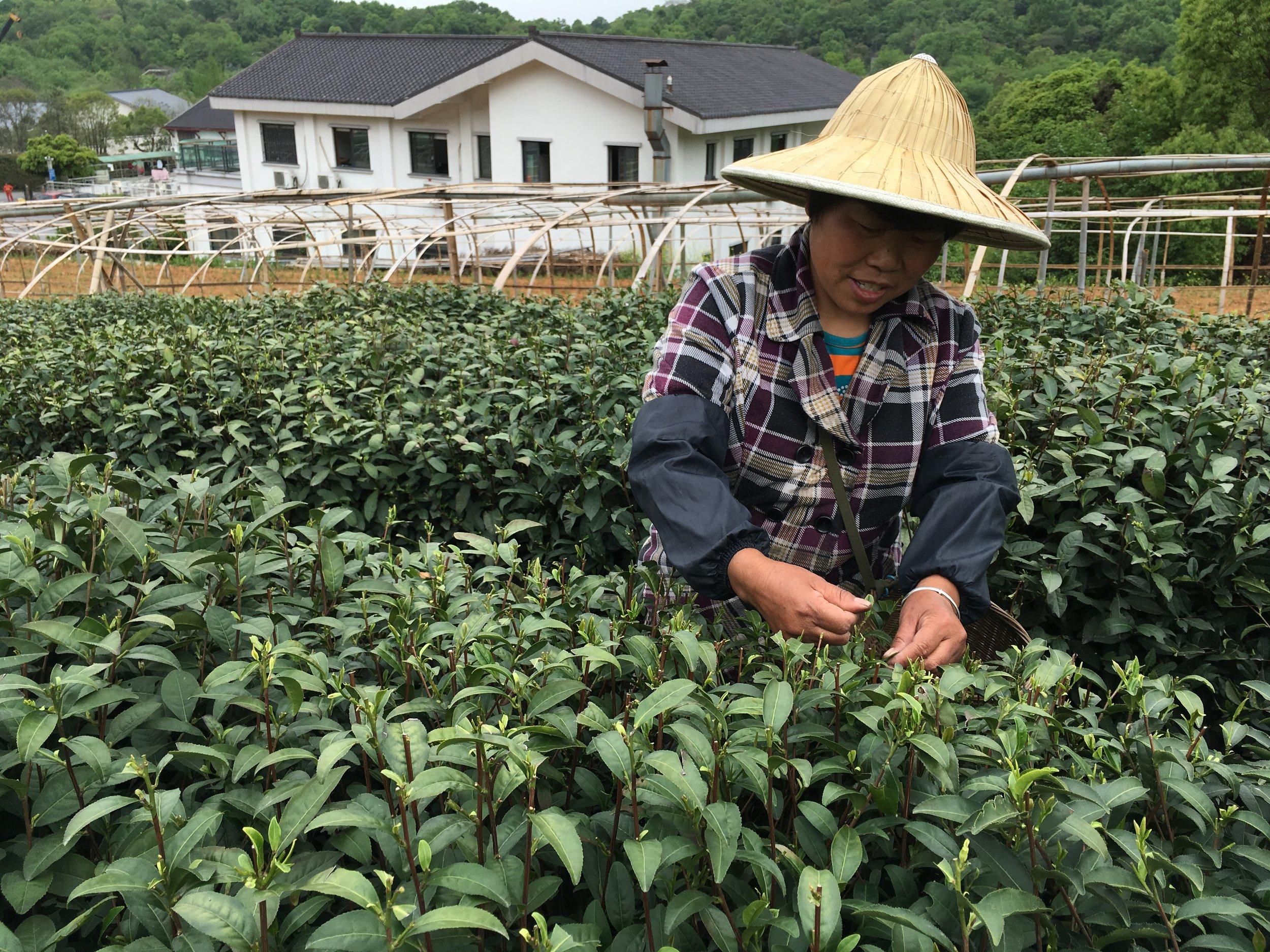 Tea plucking in Hangzhou.JPG
