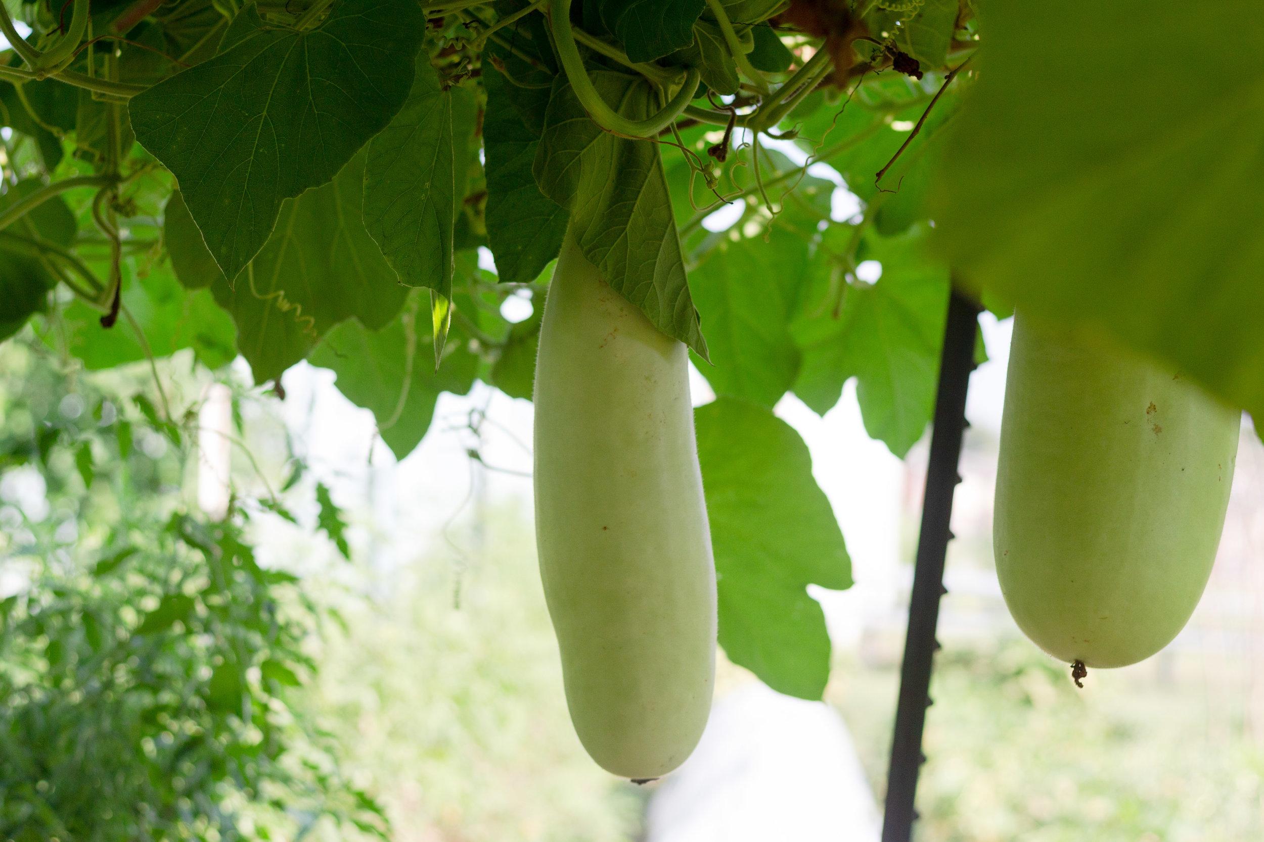 Bottle gourds, also known as calabash