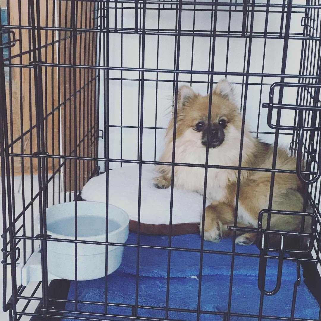 Little Leo relaxing in his crate, this cute fluff had water available as he didn't have issues with potty training
