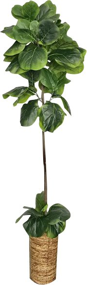 Fiddle-Leaf+Fig+Tree+In+Basket(1).jpg