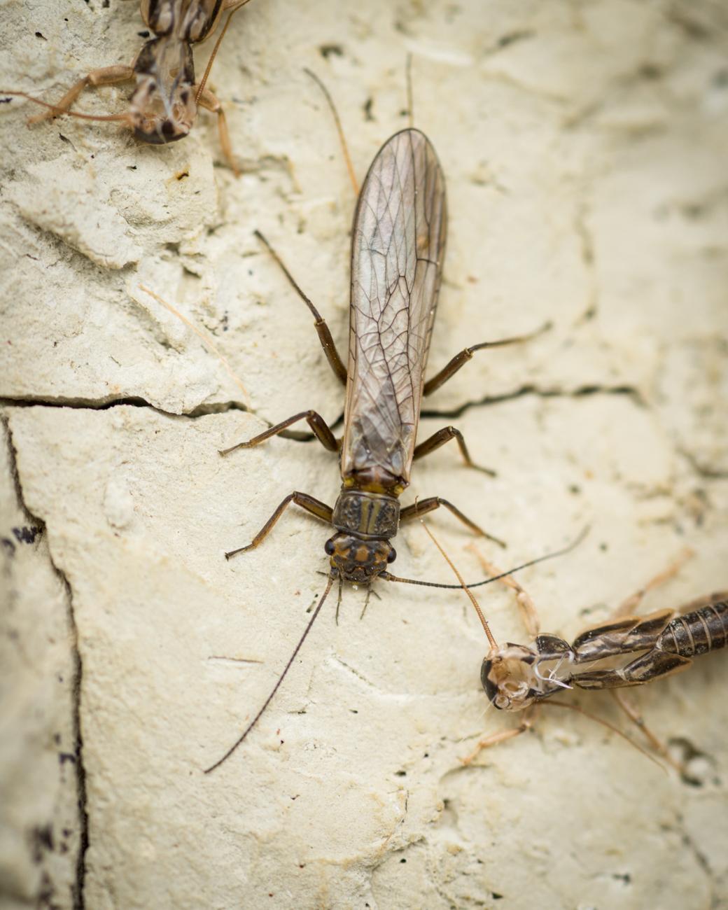 Skwala stonefly hatch Montana