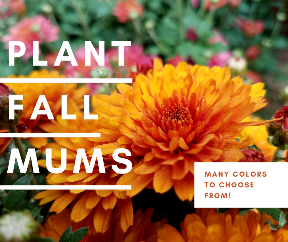 PLANT FALL MUMS NOW!.png