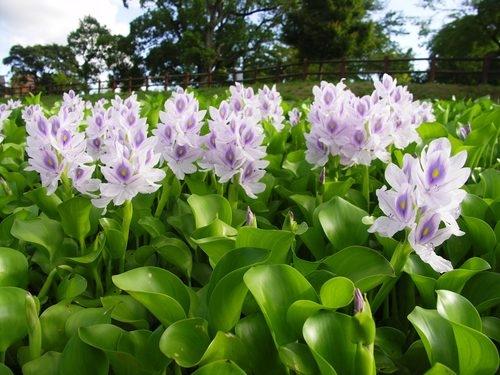 water_hyacinth_farm_pond_plants1.jpg