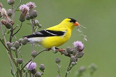 Spring - goldfinch.jpg