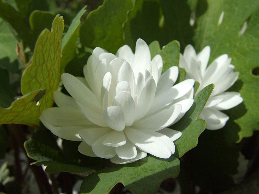 2019-03-29 Friday's Flower - Bloodroot double.jpg