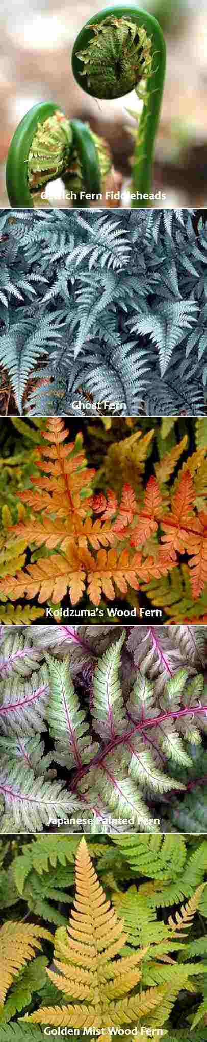 Friday's Flower - Fern - 4 colors - tall rect w fiddleheads.jpg