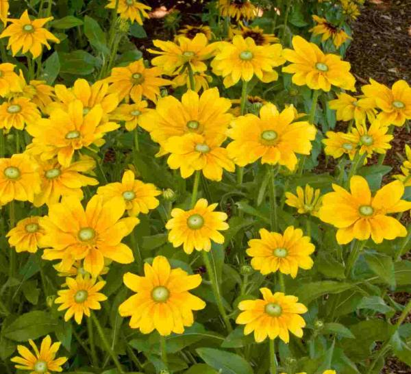 Friday's Flower - Irish Eyes Rudbeckia.jpg