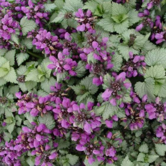 Friday's Flower - Ghost Lamium.jpg