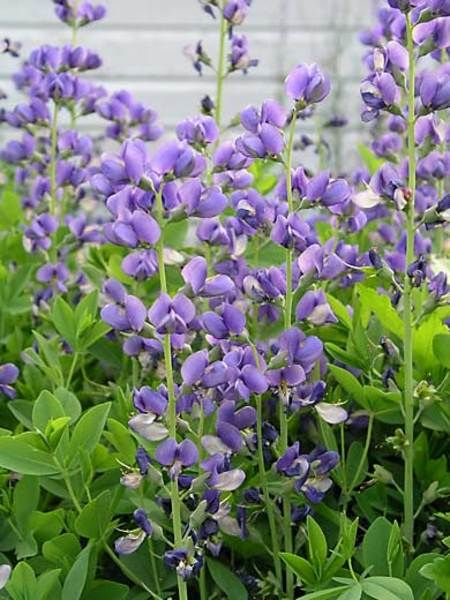 Friday's Flower - Baptisia.jpg