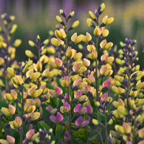 Friday's Flower - Baptisia Pink Lemonade.jpg