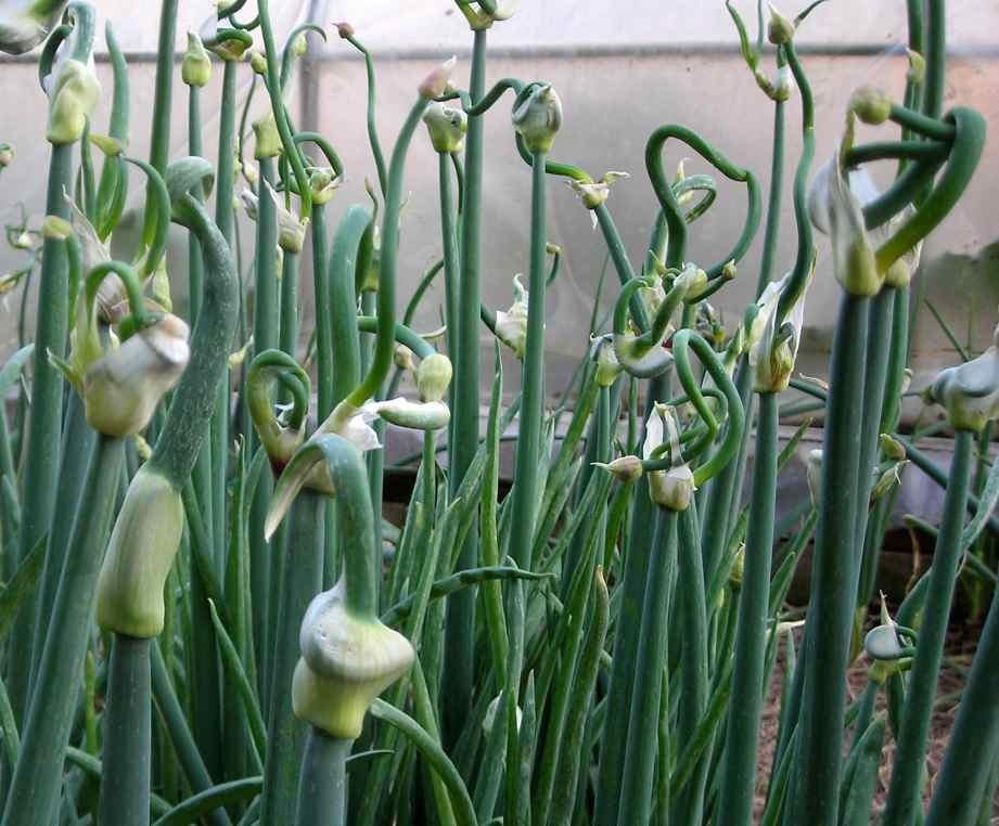 Friday's Flower - Egyptian Walking Onion2.jpg