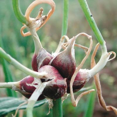 Friday's Flower - Egyptian Walking Onion.jpg