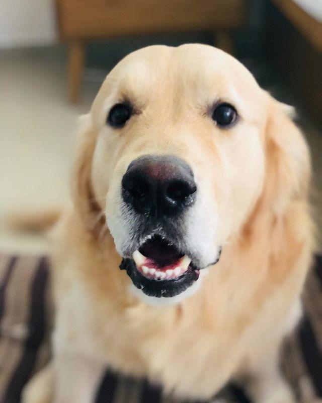 """did you just say It's friYAY?"" #expressionsonpoint 🐾 🐶 🐾 . . . . . . . . . . #goldenretrieversofinstagram #pupflix #weeklyfluff #retrieversgram #retrieverstagram #goldensof_instagram #leo #vsco #vscocam #vscogrid #vscoindia #travelgram  #dog #goldenretriever #igdaily #ig_exquisite #instagram_ahmedabad #goldensofinstagram #TheWeekOnInstagram"