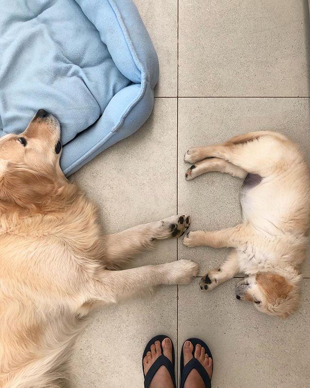 🐾 🐶 🐾 . . . . . . . . . . #goldenretrieversofinstagram #pupflix #weeklyfluff #retrieversgram #retrieverstagram #goldensof_instagram #leo #vsco #vscocam #vscogrid #vscoindia #travelgram  #dog #goldenretriever #igdaily #ig_exquisite #instagram_ahmedabad #goldensofinstagram #TheWeekOnInstagram
