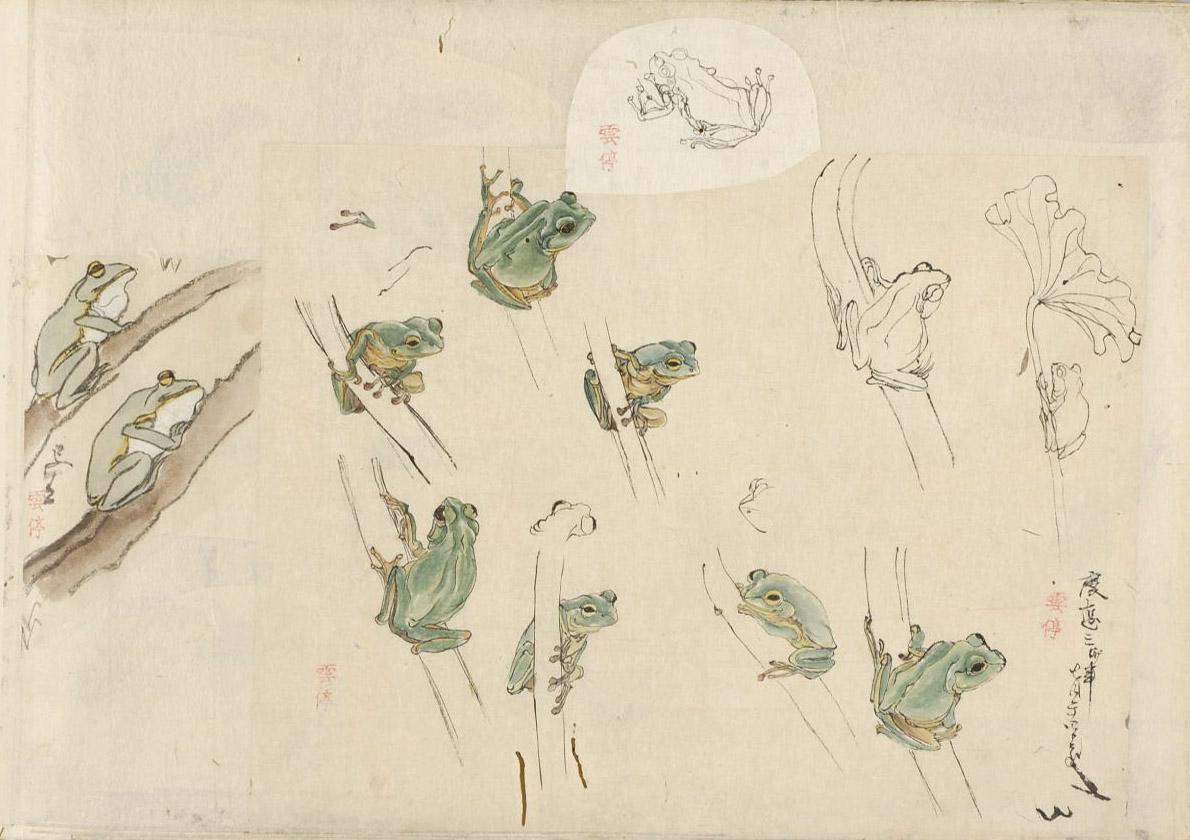 Research sketches for Takagi Haruyama's (高木春山)   Materia Medica (本草) .  ケロケロ /kerokero /ribbit ribbit /sound of frog croaking