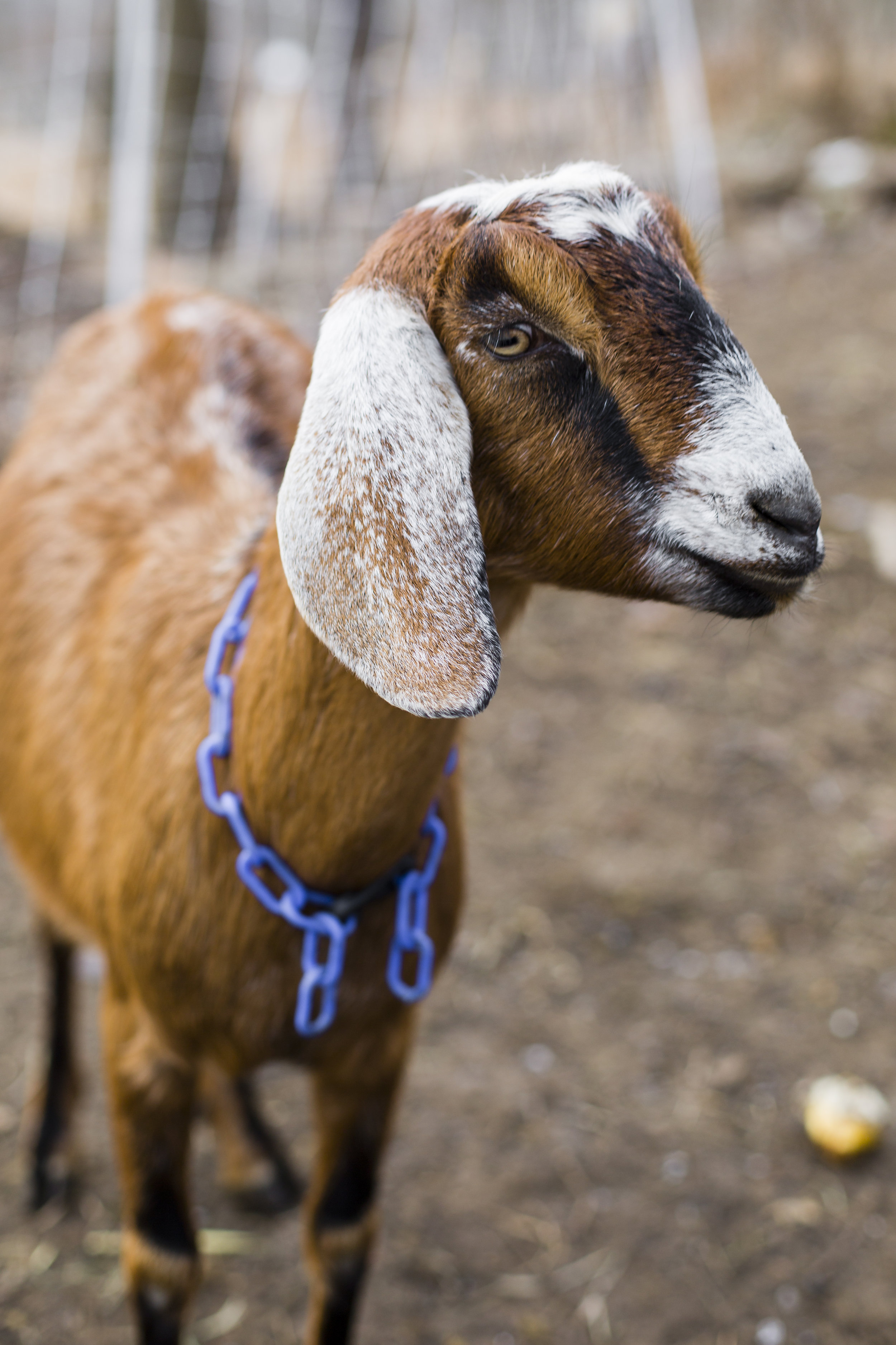Butter Bailey -  Butter is the only female on Team Hobo, but she gets along well with the others. She rejoined Allegheny GoatScape in June 2017 after spending the winter and spring away from her team. She is slightly smaller and younger than her counterparts, but can eat knotweed and honeysuckle with the best of them!